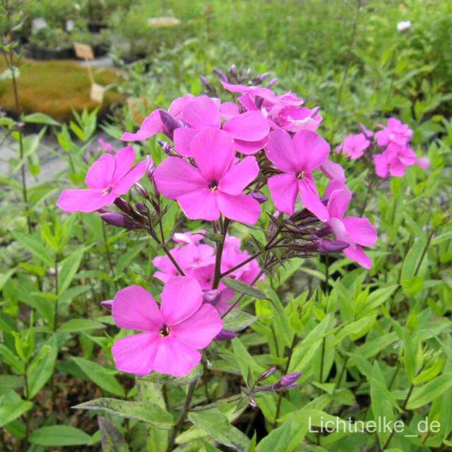 1x Staude Pflanze Frühsommerphlox ( Phlox arendsii ANJA )
