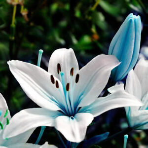 Egrow 50pz blue heart lily seeds in vaso plant giglio dei for Lilium in vaso