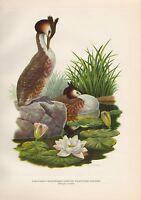 GREAT-CRESTED GREBE FANTASTIC ILLUSTRATED AXEL AMUCHASTEGUI VINTAGE BOOK PRINT