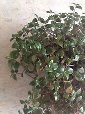 Tradeskantie terrario nanetto Heinrich declivi Tradescantia pianta di tagli 10x