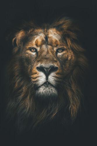 Gold Lion Head Savana King Art Wall Indoor Room Outdoor Poster POSTER 24x36