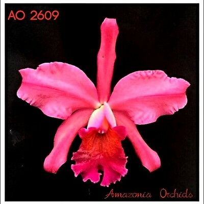 Orchid Cattleya Chialin Doll Toy bare root