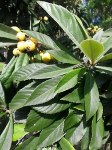 90 Organic Fresh Loquat Leaves Picked to Order and Ship the Same Day by PRIORITY MAIL Chemical FREE \u00a0!Guaranteed!\u00a0
