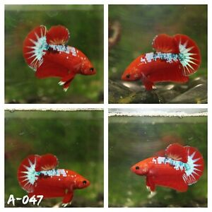 [A-047] High Quality Live Halfmoon Plakat Betta- Red Fancy Startail