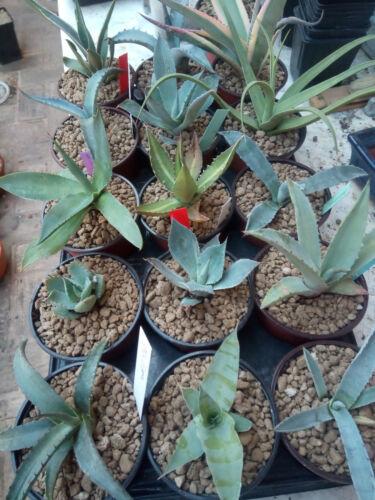 5 X Agave Sortiment Pflanze Identificada zwischen 8-20 Zentimeter Größe Yucca