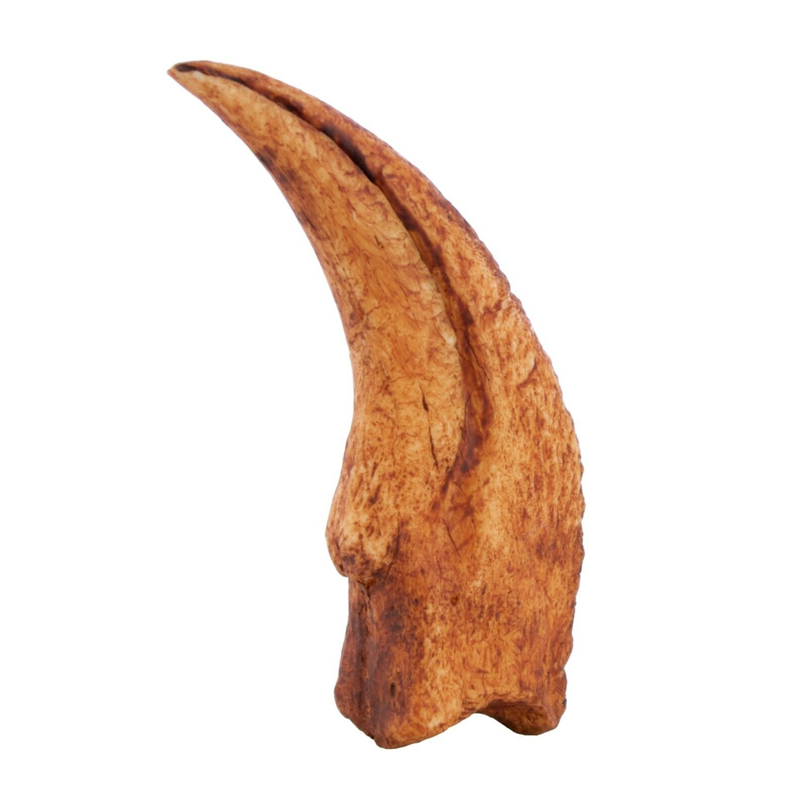 Velociraptor Dinosaur Claw Replica Museum Quality Cast Fossil