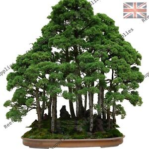 Rare Dawn Redwood Bonsai Giant Sequoia Tree 10 Viable Seeds Uk Seller Ebay