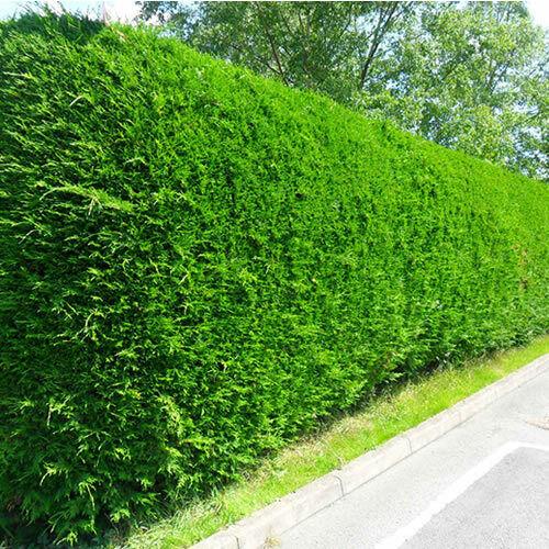 5 X LEYLANDII GREEN EVERGREEN CONIFER HEDGING LEYLAND PLANT IN POT 1-2FT