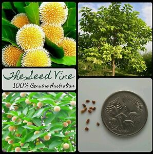 20-KADAM-TREE-SEEDS-Neolamarckia-cadamba-Burflower-Laran-Yellow-Flowering