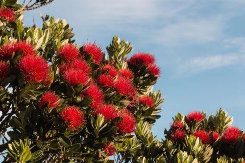Exot plantes graines exotiques semences chambre plante zimmerbaum sapin de Noël