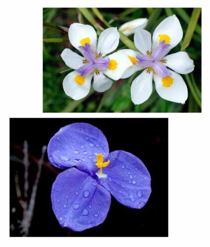 Graines-spar-set deux exotique beautés cap-Iris et bleu iris!