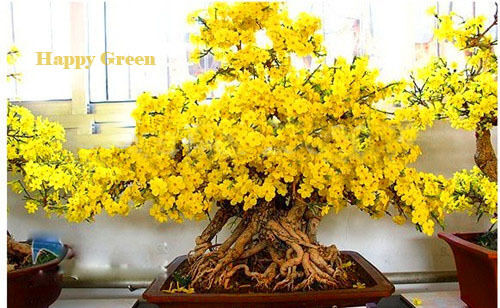 Wintersweet-Chimonanthus precoce 10 semi-OTTIMO PER BONSAI