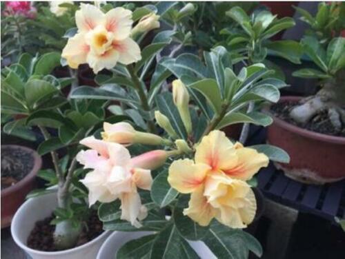 "5 pcs DESERT ROSE ADENIUM OBESUM Fleur Bonsai /""Golden Phoenix/"" graines #D081"