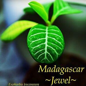 Madagascar-Jewel-Euphorbia-leuconeura-Unique-Bonsai-Palmlike-Live-Potted-Plant