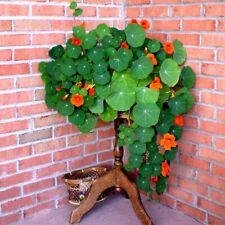 100PCS Perennial Nasturtium Seeds climbing Flower Garde indoor Plants