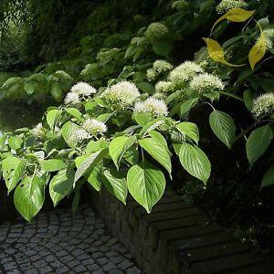 Cornus florida Dogwood Tree 5 Seeds from Large Flowered Specimen