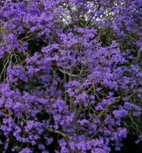 Jacaranda Mimosifolia Ornamental Fern Purple Flowers Bonsai Tree 10 Seeds Ebay