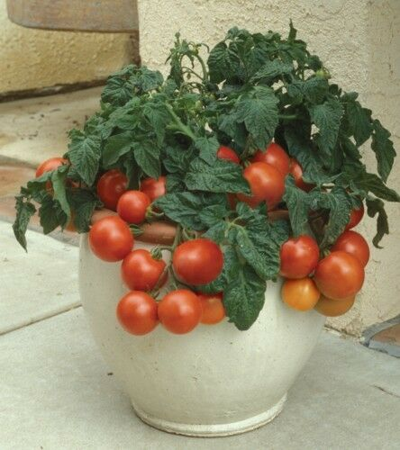 VEGETABLE TOMATO DWARF PATIO TINY TIM 100 FINEST SEEDS