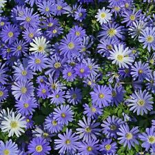 35 PRE-CHILLED BLUE SHADES Anemone Blanda Bulbs - Ready To Bloom This Year!