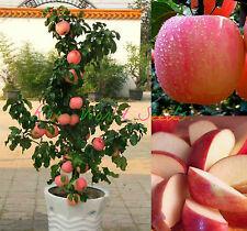 how to grow a miniature apple tree