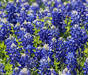 TEXAS-BLUEBONNET-Lupinus-Texensis-150-Bulk-Seeds