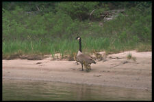 238028 Canada Goose And Chicks A4 Photo Print