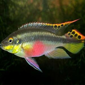 Live tropical aquarium fish for sale kribensis bundles for Fish for sale online