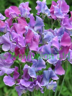 SWEET PEA - SPENCER - DUCHY OF CAMBRIDGE - 30 FINEST SEEDS