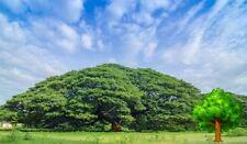 *UNCLE CHAN* 20 SEED SAMANEA SAMAN RAIN TREE MONKEY POD STUNNING EXOTIC TREE FRE