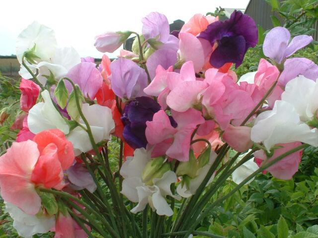 FLOWER SWEET PEA MAMMOTH MIX 17 GRAM ~ APPROX 204 FLOWER SEEDS