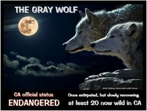 "California Gray Wolf - an Endangered Species card by ""PostcardsTo SaveThePlanet"""