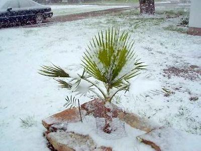 Winterfeste anspruchslose Sabal-minor-Palme //Auch als Bonsai für den Blumentopf