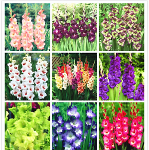 Gladiolus-Fleurs-Bonsai-plantes-rares-Maison-Jardin-Decoration-100-Pcs-Graines-en-pot
