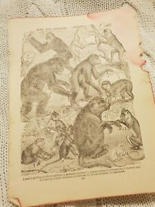 Apes-and-Monkeys-Antique-Book-Print