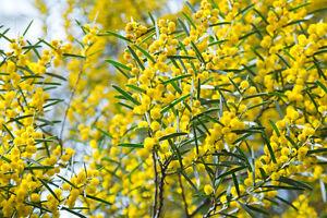 Exotische-Samen-gelbe-Akazie-ist-reichlich-mit-kleinen-Blueten-besetzt