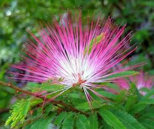 Calliandra eriophylla pink fairy duster 10 seeds fuzzy blooms image is loading calliandra eriophylla pink fairy duster 10 seeds fuzzy mightylinksfo