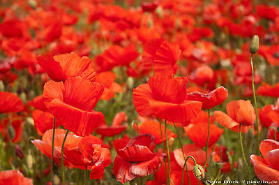 100% Vero 10000 Semi Chiacchiera Papavero-papavero Fiore-papavero Rose-papavero Rhoeas 001382- Ultima Moda