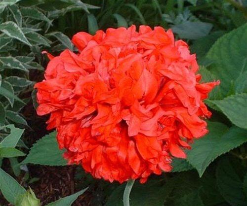 100 FLEMISH ANTIQUE MIX PEONY POPPY Papaver Peoniflorum Mixed Color Flower Seeds