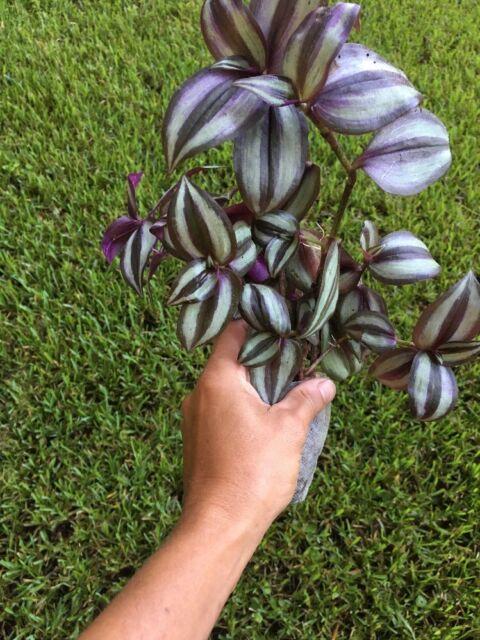 "30 Cuttings 7/"" Purple Wandering Jew Houseplant Shade Loving Plant Tradescantia"