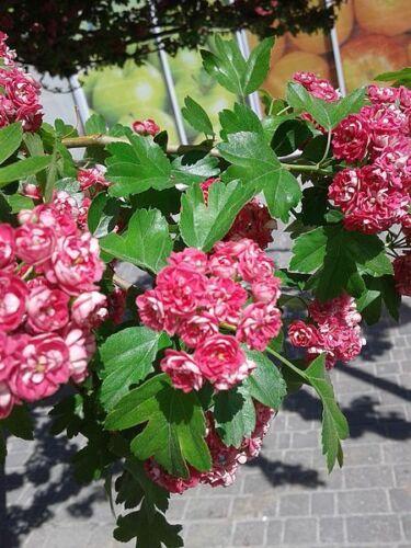 20 ENGLISH HAWTHORN TREE Edible Fruit Flower Mayflower Crataegus Laevigata Seeds