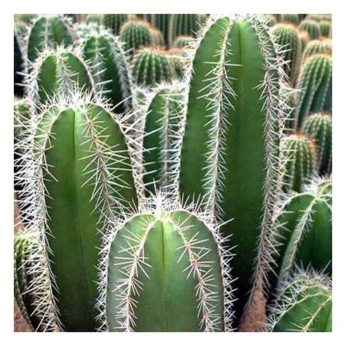 50 Samen der Lemaireocereus montanus,Sukkulenten,seeds succulents G