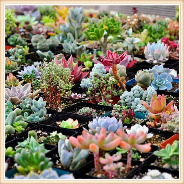 Succulent Seeds Lithops Rare Living Stones Plants Cactus Home Plant 400pc Mixed