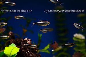 "(10) .75"" Black Neon Tetra TR Hyphessobrycon herbertaxelrodi Live Fresh Tropical"
