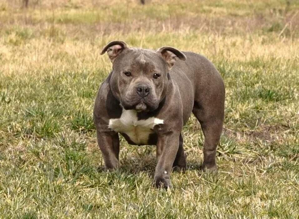 Amerikansk bulldog