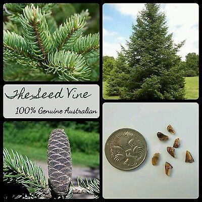 Christmas Tree Seeds.10 Balsam Fir Tree Seeds Abies Balsamea Evergreen Pine Hardy Christmas Season Ebay