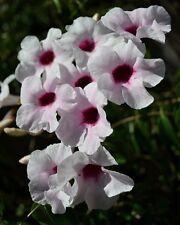 Laubenwein • 20 Samen/seeds •Pandorea jasminoides•Bower Of Beauty•Kletterpflanze