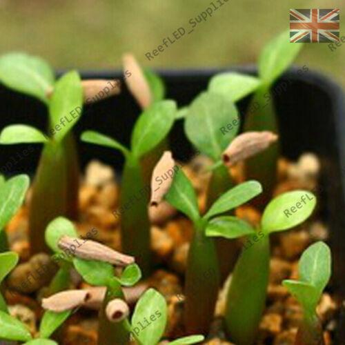 """/""""Sunshine/"""" Adenium Obesum Desert Rose 5 Seeds Fresh Viable UK Supply"""