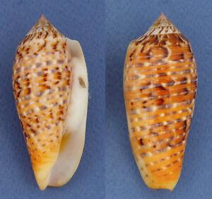 Coquillage-de-collection-Conus-dusaveli-69-mm-Gem
