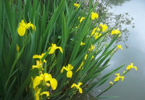 Iris pseudacorus 1+1 gratuite Plante bassin vivace