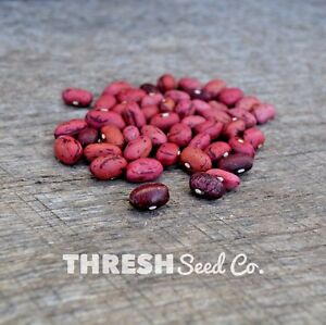 Shelling-Bean-Bush-Vermont-Cranberry-50-seeds-Free-Gift
